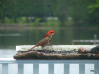 Male Cardinal with Fledgling