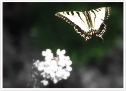 Butterfly & Phlox