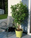 Fred the Ficus on his way back in for the year ~ late summer 2012