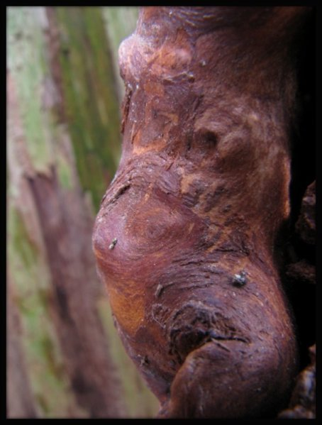 Face in the wood