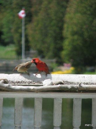 Cardinals - Mating Behaviour
