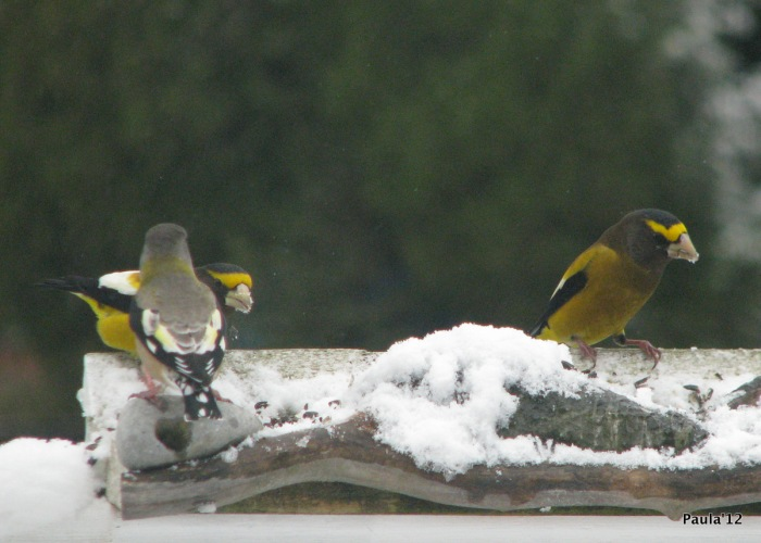 November - Evening Grosbeak