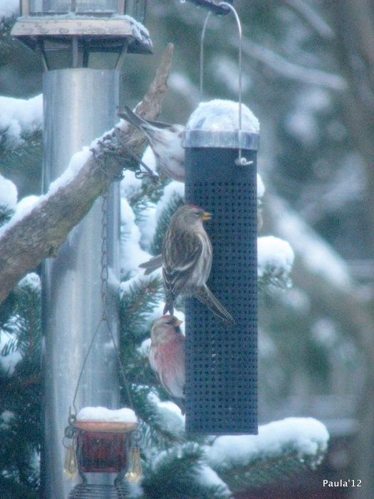 December 9 - Redpolls