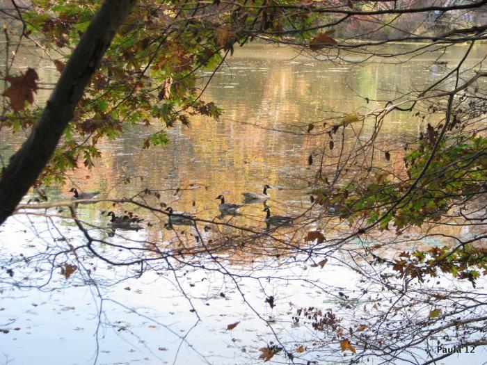 Canada Geese - Fall