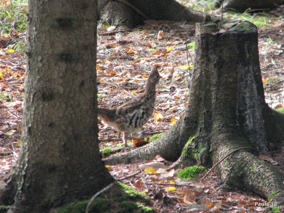 Grouse - Fall