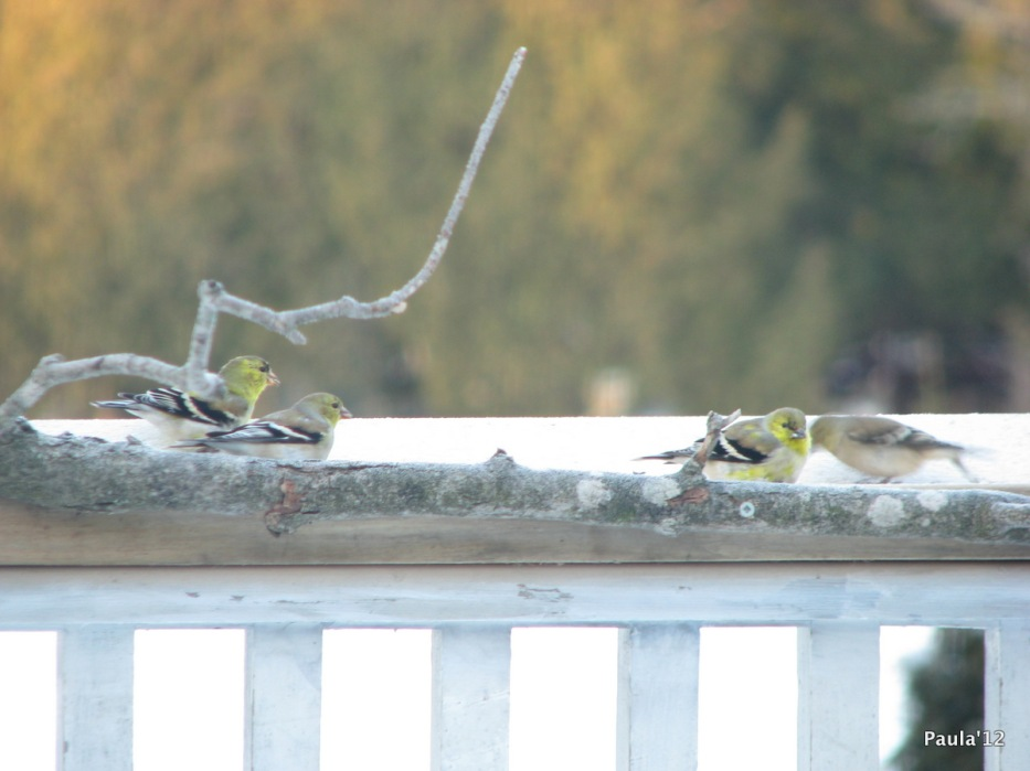 Spring - Goldfinch