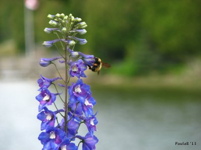 Bee on Delphiniums