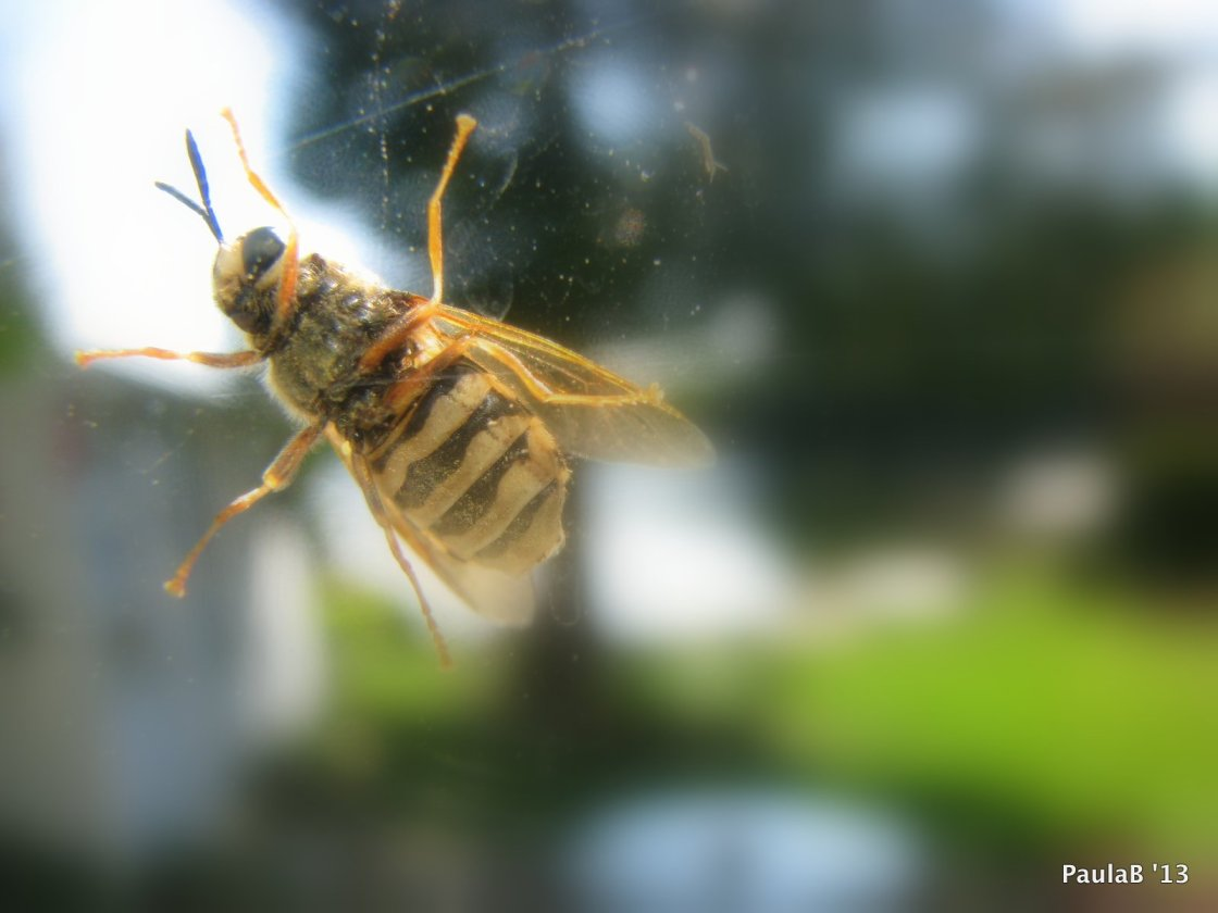Bee on Windowpane