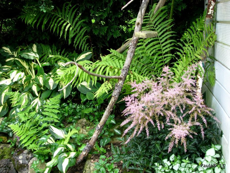 Hosta's, Ferns, Astible 'Sprite'