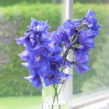 Single Delphiniums in Vase