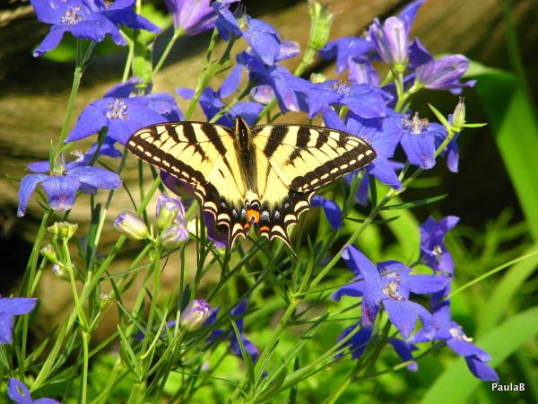 Butterfly & Delphinium