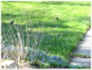 Starlings on Front Lawn