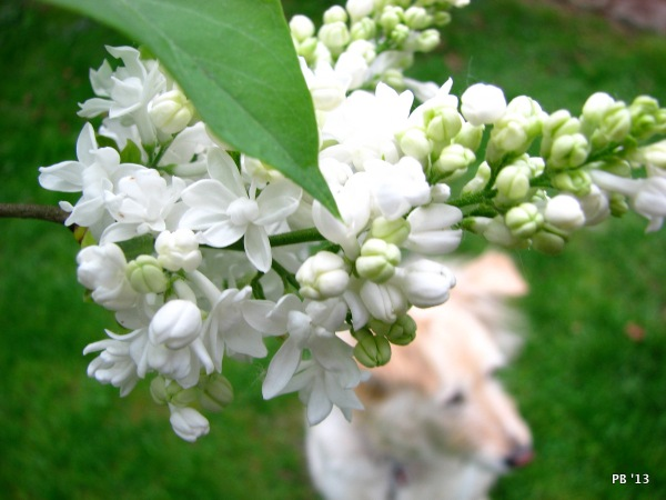 Lilac Blooms & Irish