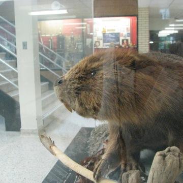A Stuffed Beaver