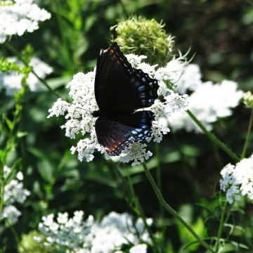 Butterfly on Queen Anne's Lace