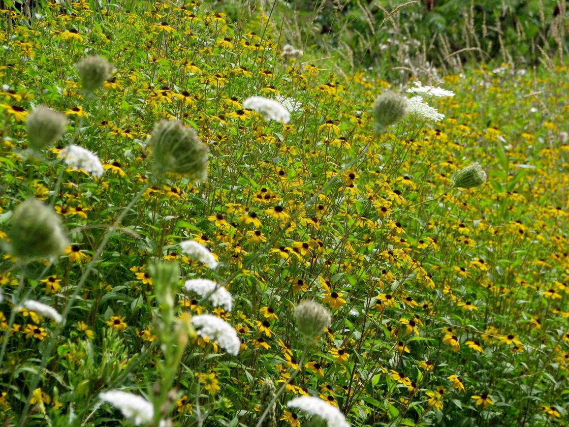 Annual Sunflowers
