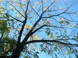 Black Walnut shedding its leaves