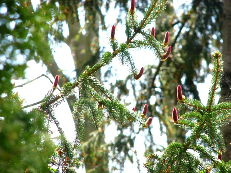 Norway Spruce buds