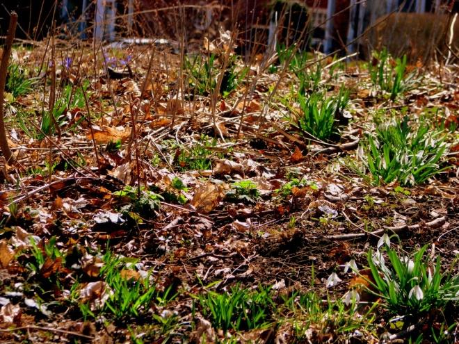 Scilla in the grass
