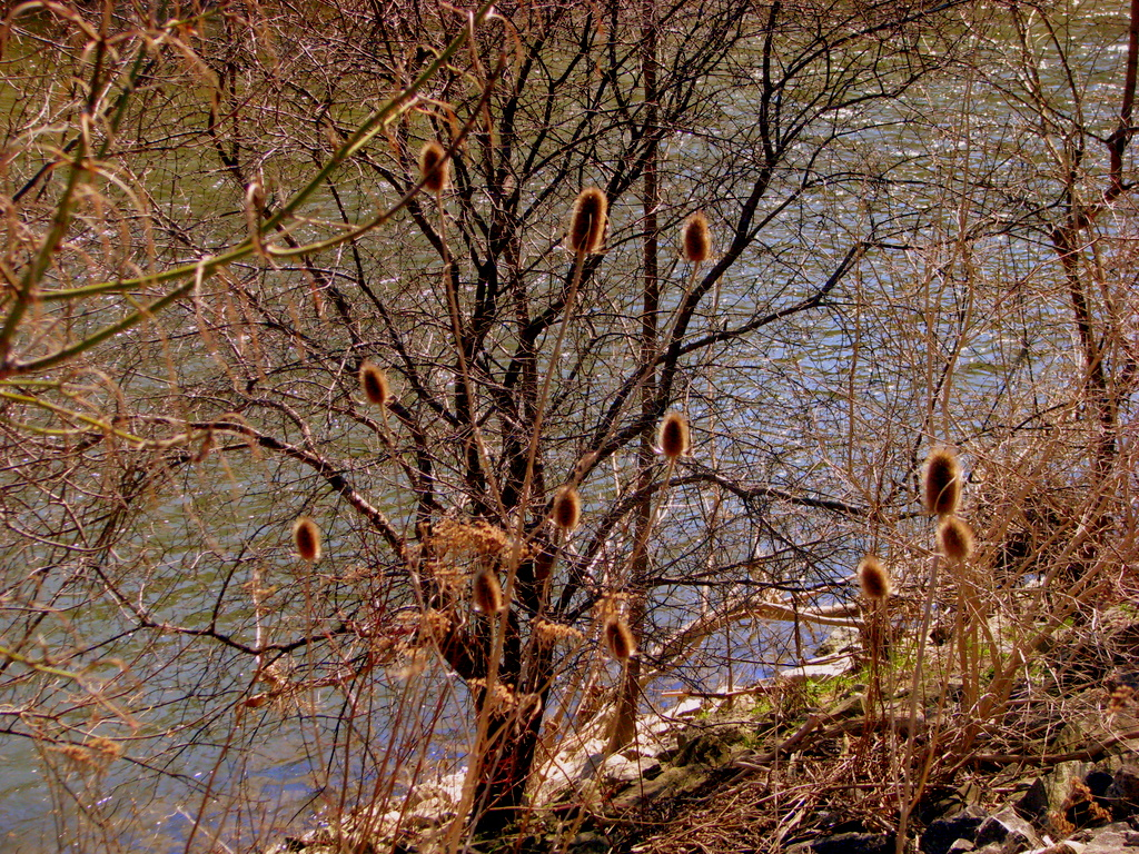 Teasel by the river