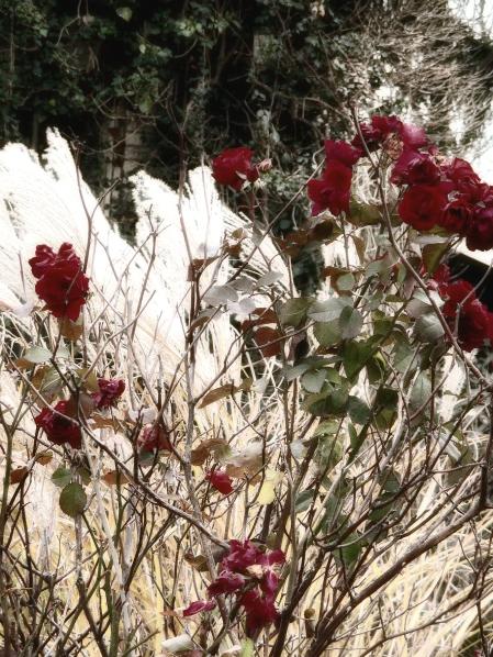 roses-in-winter