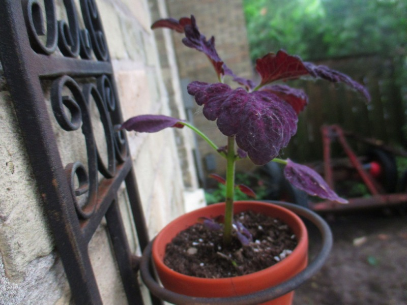 In the background is the Gypsy Wagon...courtsey of the old tenant. Foreground is a Coleus 'Black Dragon'.