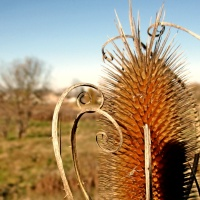 Ornately Teasel