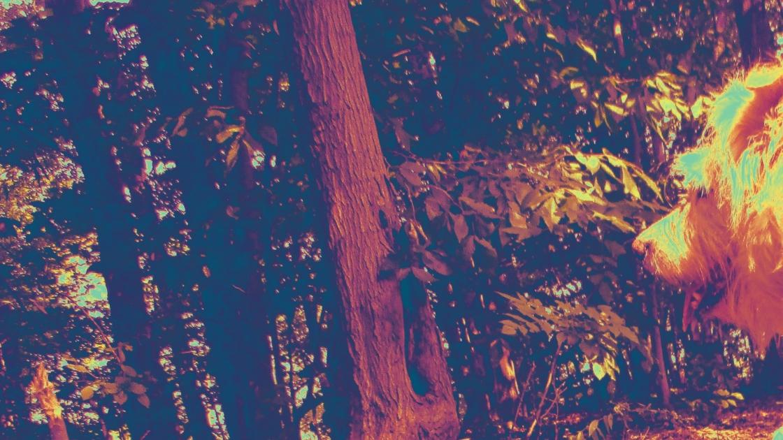 Irish in the woods