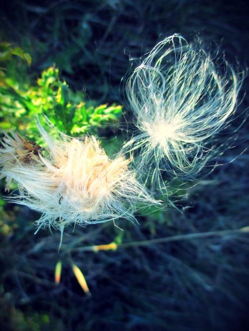 milkweed seed caught in wildflower