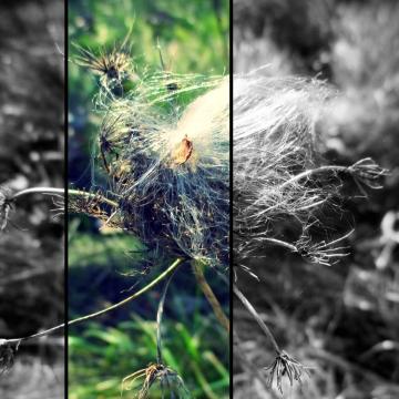 milkweed caught in queen anne's lace