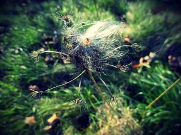 milkweed dancer in the meadow