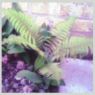 Old Ferns from the 100-year-old colony @ the Homestead.