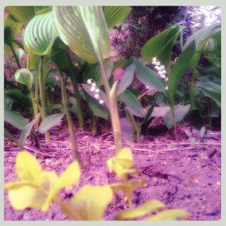 Lily of the Valley, Hosta plantaginea 'Grandiflora & a golden Creeping Jenny.