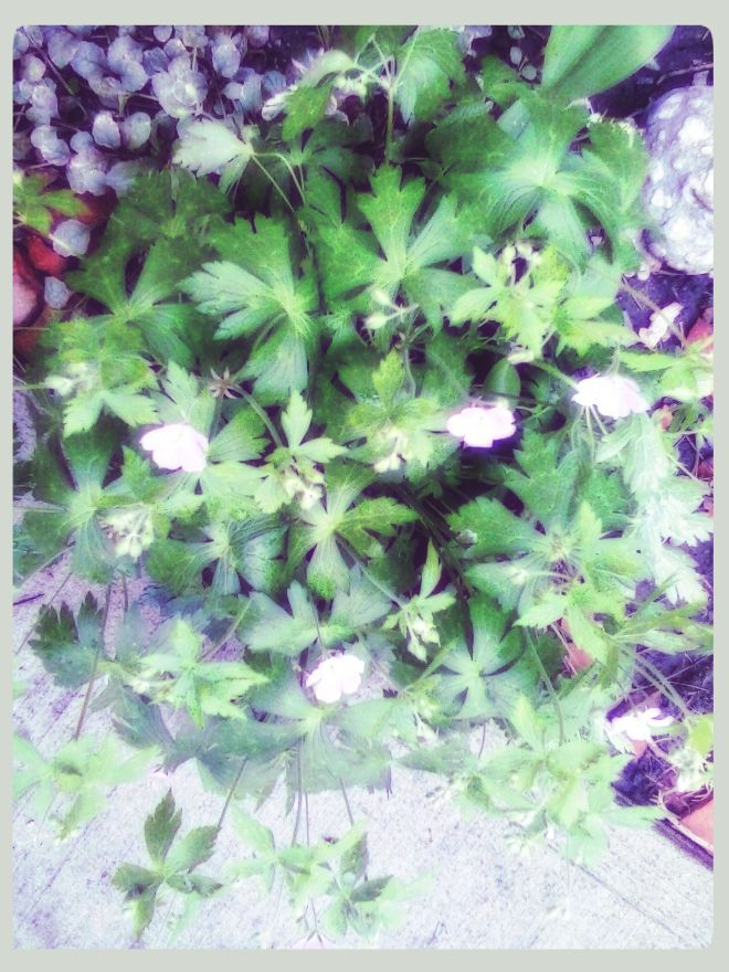Wild Geranium - Native Species bought from a local plant sale last year.