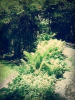 Ferns On A Path