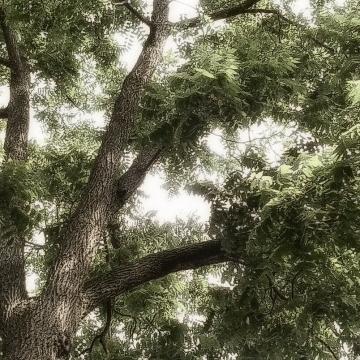 Under The Black Walnut Tree