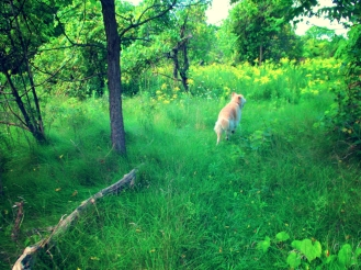 dog in meadow