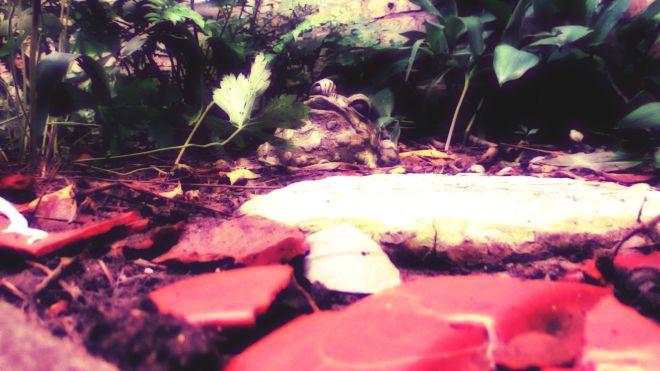 toad in garden