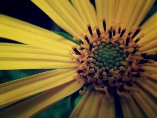 wild sunflower 2