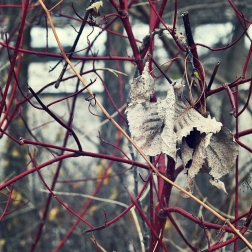 dogwood-and-dead-leaves