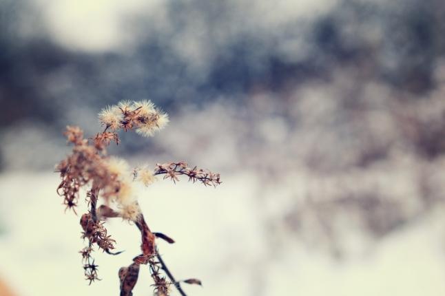 dried-flowerhead
