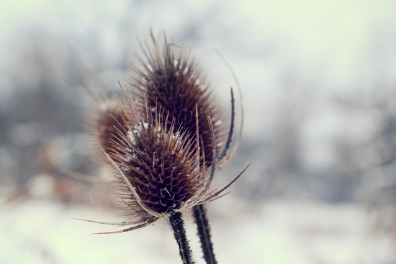 teasel in focus