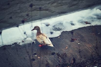 the-white-mallard-at-the-river