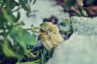 snapdragons-in-the-snow