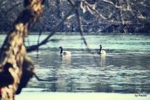 geese0220-b