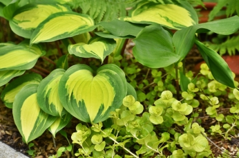 'island breeze' hosta & creeping jenny