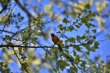 northern oriole 2