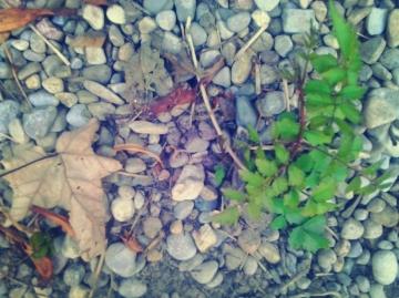 trumpet vine growing in gravel - thetemenosjournal.com