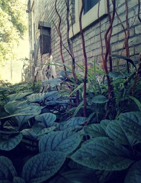 hosta and ivy