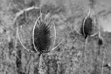 teasel oct 2.jpg